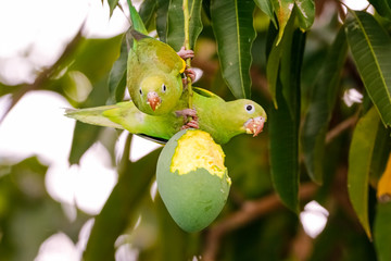 Two Yellow-chevroned Parakeets hanging on a pitted mango fruit, facing camera, against green leaves in background, Pantanal Wetlands, Mato Grosso, Brazil