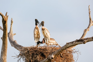 Three young Jabiru storks in their nest on a tree against blue sky, two facing each other, Pantanal Wetlands, Mato Grosso, Brazil