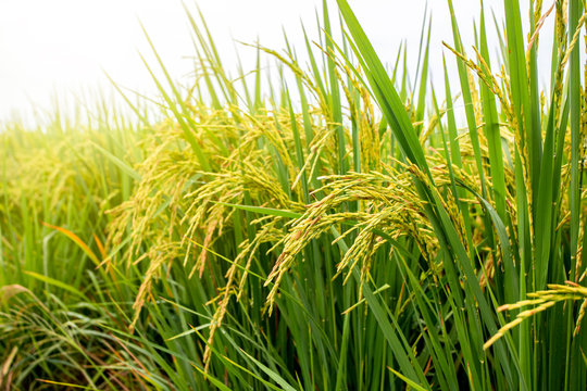 Rice field. Closeup of yellow paddy rice field with green leaf and Sunlight in the morning time.