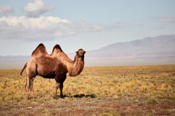 Poster Kameel Bactrian camel in the Gobi desert of Mongolia, beautiful closeup portrait