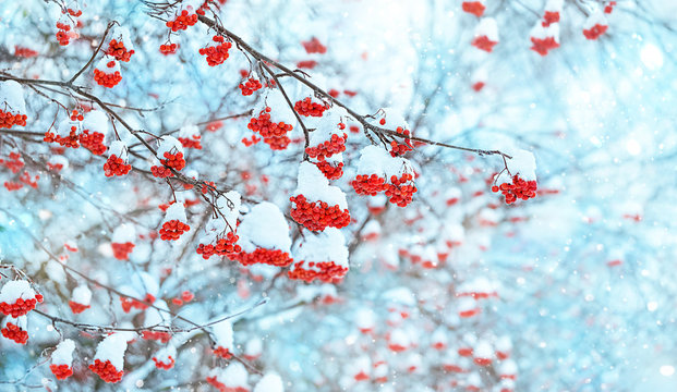 Rowan tree in snow. beautiful natural winter background. bunches of Red rowan berries covered with snow. delightful winter scene with frozen trees. new year and christmas time. copy space