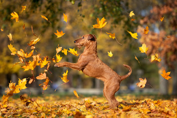 happy dog jumping up and catching falling autumn leaves