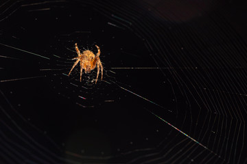 Small Orb Spider Spins its web in the dark