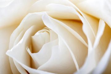 In de dag Roses White rose as background