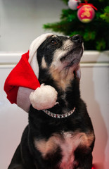 small black dog, posing with a Christmas hat