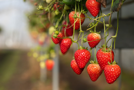 Strawberries ripening on a on a table top system and ready for harvesting.