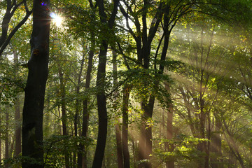 Beautiful sunbeams after rainfall in October make this Dutch beech forest look like a tropical rainforest