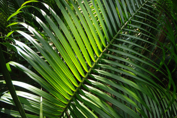 Canvas Prints Palm tree testura folha de palmito jussara