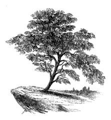 Ficus (Fig Tree) - Vintage Engraving Illustration
