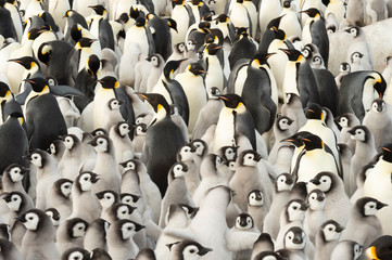 Emperor Penguin colony with chicks at Snow Hill