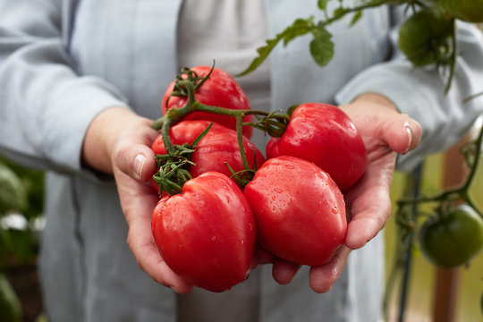 Ripe red organic tomato harvest in hands
