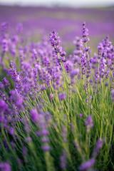 Photo sur Plexiglas Lavande field of lavender on a sunny day, lavender bushes in rows, purple mood
