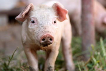 piglet animal portrait