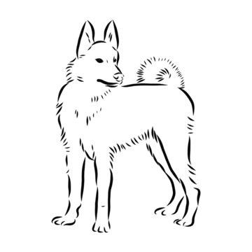 vector image of a dog Laila, Siberian husky