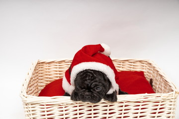 French Bulldog Puppy ready for Christmas