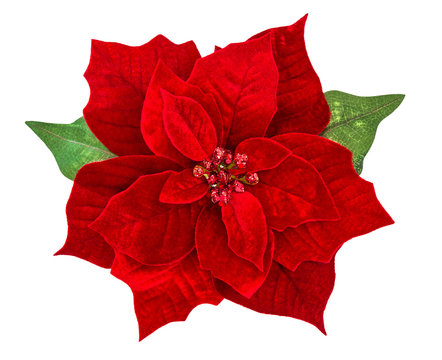 Red Christmas flower poinsettia isolated white background