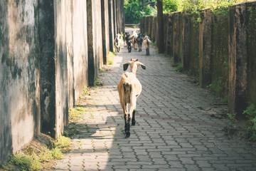 Keuken foto achterwand Smal steegje Goats in a narrow alley in the city center of Fort Kochi, Kerala, India
