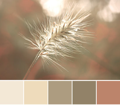 Color matching analogous Autumn color palette from a close-up image of Rabbit Tail Grass head