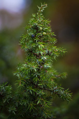 Juniper seeds in both blue and green on a healthy evergreen juniper tree during autumn