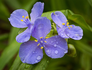 Virginia spiderwort (Tradescantia virginiana) flowers after a rain.