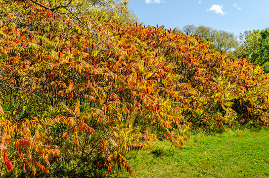 Fall Staghorn Sumac bush's colored leaves