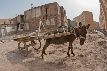 A pulling cart donkey is standing with tied 2 front legs in Xinjiang, China.
