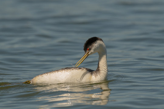 Western Grebe swims and preens in calm water