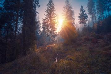 Aluminium Prints Autumn Sun light through the trees, rising over spruce forest trees at Carpathian mountains.