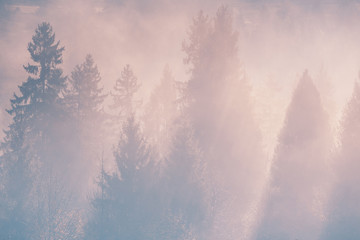 Spruce trees through the morning fog in light rays. Mountain forest at autumn foggy sunrise.