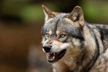 Deurstickers Wolf Grey wolf angry in the forest