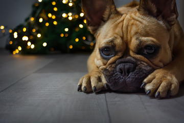 Türaufkleber Französisch bulldog Puppy of french bulldog waiting christmas on the lights backgroung