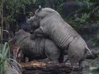 Fototapeta La monta del rinoceronte obraz