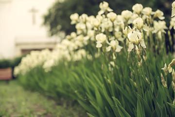 Iris flower blooming at church yard