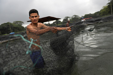 A worker moves a plastic net in a fish tank at a tilapia fish farm in San Felipe