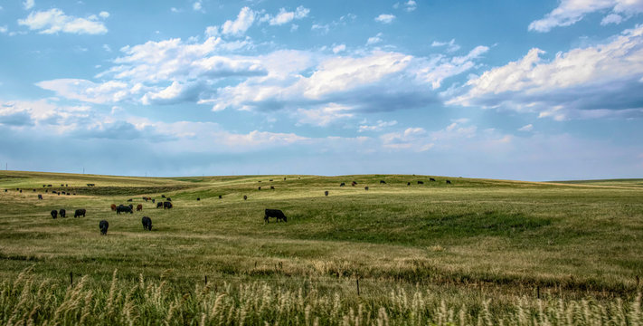 Rural landscape in Colorado, USA. Fields and grazing herds of cows