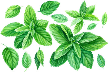 Set of mint leaves on a white background, watercolor illustration