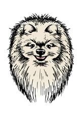 Door stickers Hand drawn Sketch of animals Spitz dog. Sketch head portrait in color