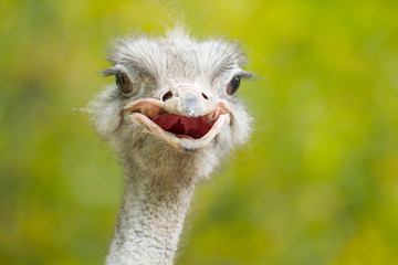 Ostrich of portrait