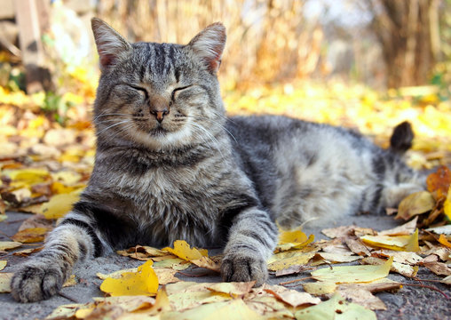 Grey tabby cat lies on autumn leaves