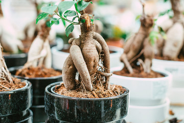Printed kitchen splashbacks Bonsai Microcarpa ficus ginseng in bonsai tree style. A lot of little house plant in flowerpot. Concept of natural house decor.