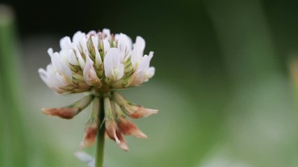 Fototapete - Wildlife macro. White clover flower grows on a green field close-up. Natural background. Landscape, nature, summer.