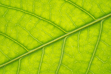 Macro Texture of green leaf structure background Wall mural
