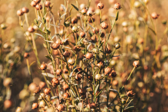 Linseed crops close up