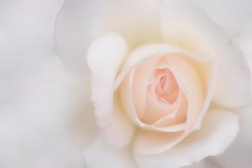 ふんわり薔薇の背景