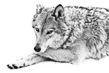 A female wolf lies on the snow, a proud animal looks forward with a clear look, lies half-turned beautifully and thoughtfully black and white photo.