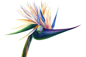 tropical strelitzia flowers on a white background, watercolor illustration Wall mural