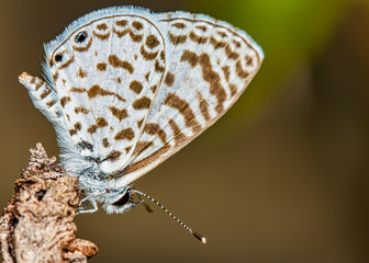 Small butterfly Leptotes cassius on the tip of a branch macro photo