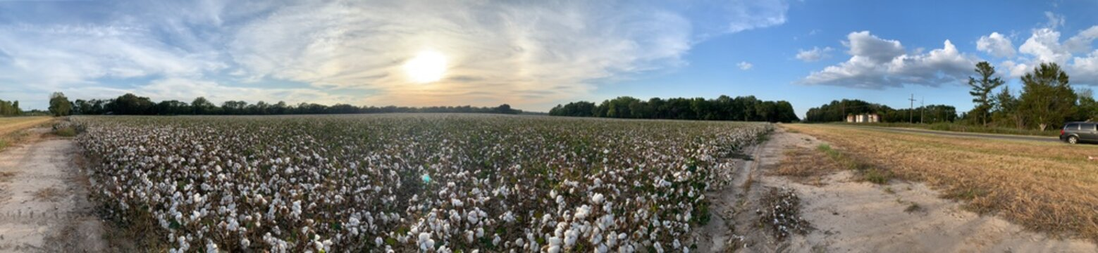 landscape with cotton field and blue sky 綿花畑
