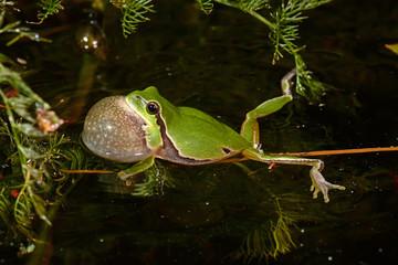 Printed kitchen splashbacks Frog quakender, Europäischer Laubfrosch (Hyla arborea) - European tree frog
