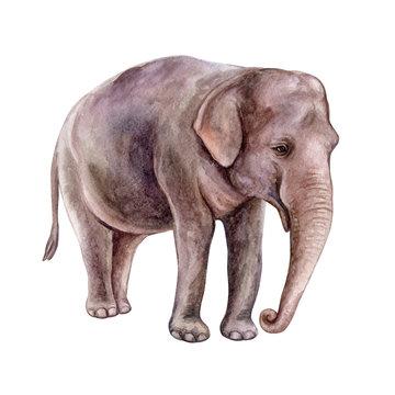Indian elephant isolated on white background. Watercolor. Illustration.  Template. Close-up. Clip art. Hand drawn. Clip art.